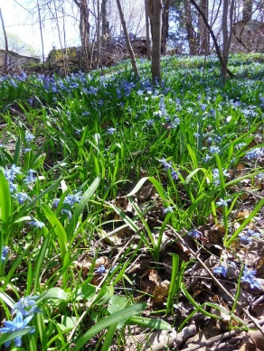 blue squill