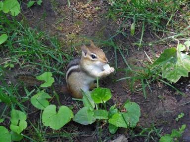 chipmunk eating chips
