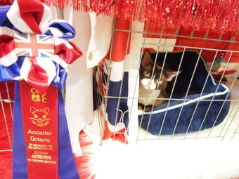 hamilton cat fanciers cat show 2015