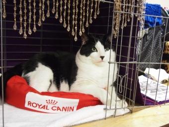 hamilton cat fanciers cat show 2015
