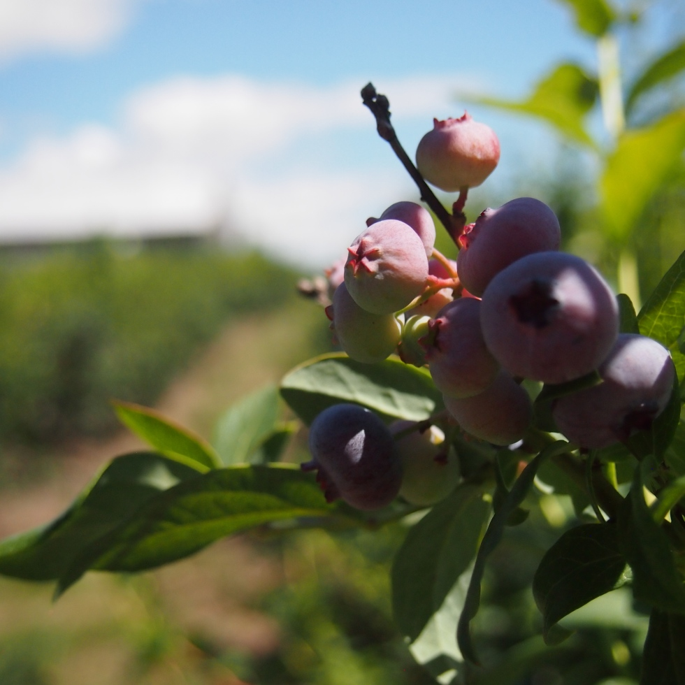 blueberry picking wilmot orchards ontario
