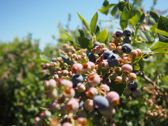 blue berry bush