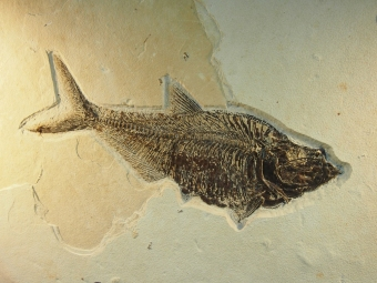 fossil fish