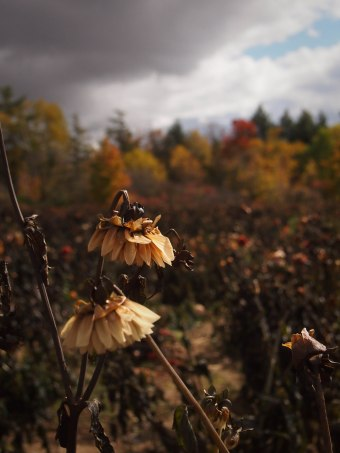 dahlia field in october in ontario canada