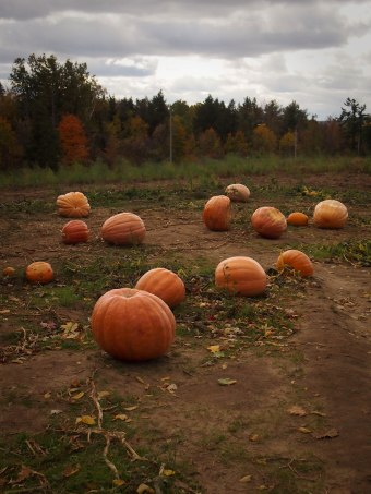 pumpkin picking andrews scenic acres