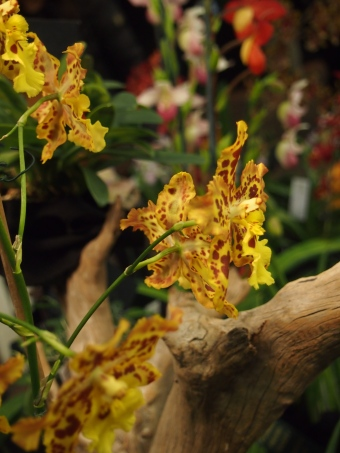 purple orchid blossom toronto orchid show 2016