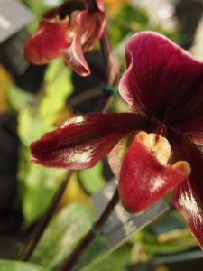 red orchid blossom toronto orchid show 2016