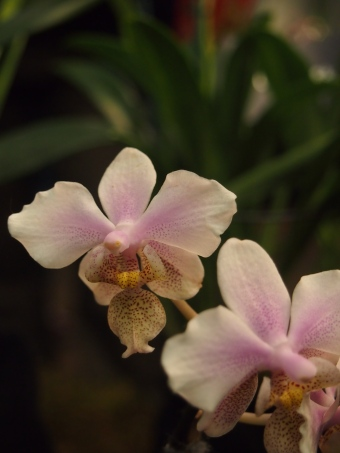 pale pink orchid toronto orchid show 2016