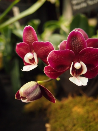 red orchid toronto orchid show 2016