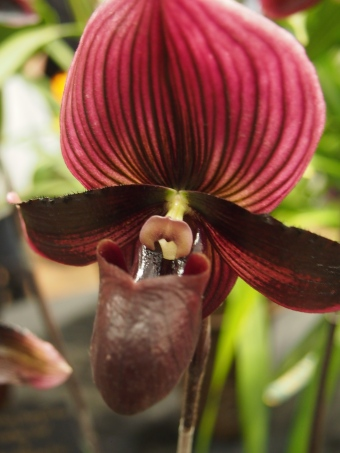 dark red and purple orchid flower toronto orchid show 2016