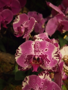 bright purple orchid flowers toronto orchid show 2016