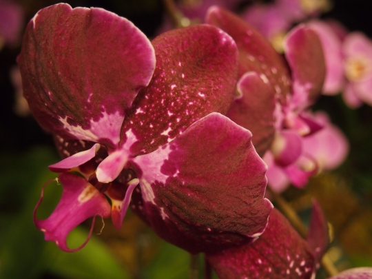 dark red and pink orchid flower toronto orchid show display 2016