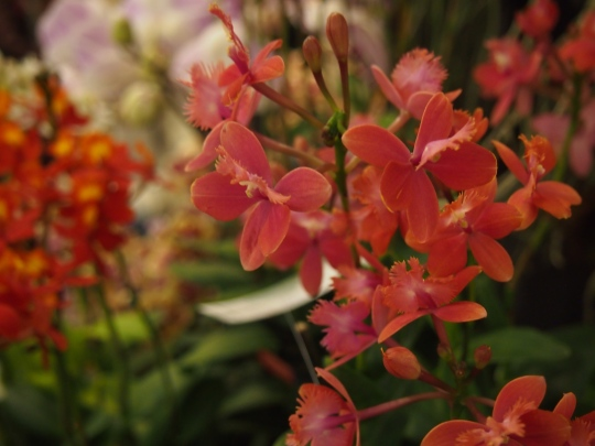 bright red orange orchid flowers