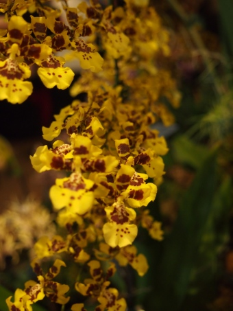 yellow orchids toronto orchid show 2016