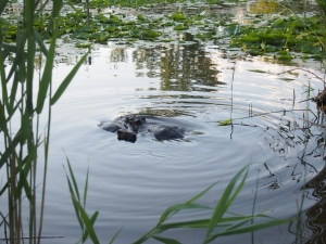 two beavers swimming tommy thompson park toronto
