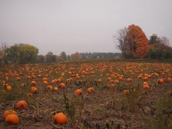pumpkin patch linton's farm market