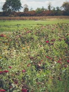 field of autumn flowers