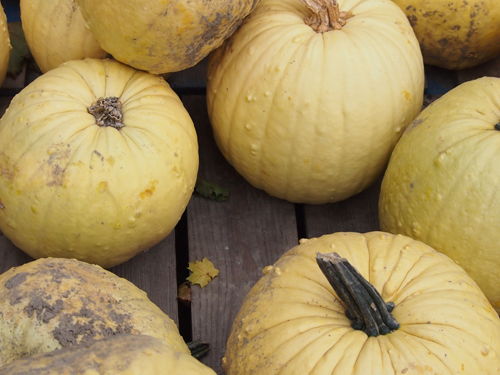 yellow pumpkins piled up