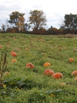 pumpkins in the field october