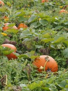 pumpkins in a patch